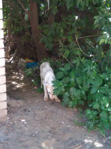 выброшенный щенок бультерьера