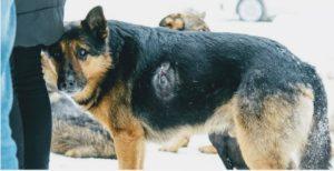 раненная собака