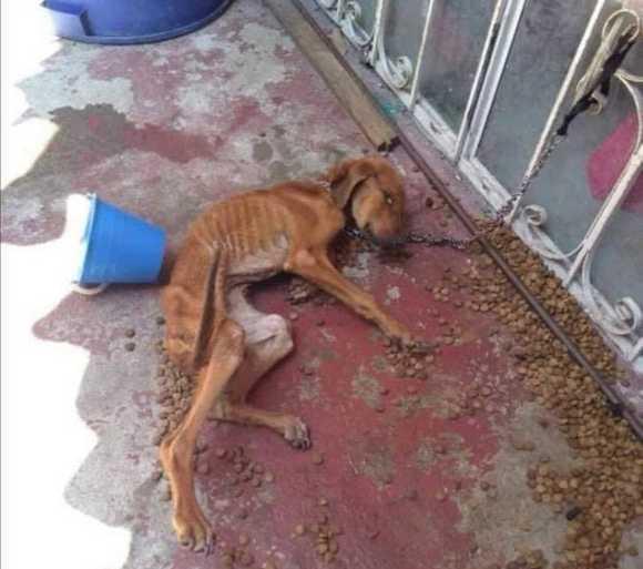 Прикованный и истощенный щенок, был найден на грани смерти.