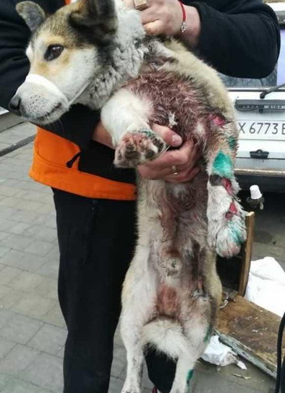 Депутат добивается наказания чиновника живодера, тащившего собаку за машиной