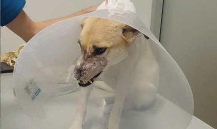 Собаке с отрезанным носом сделали пластическую операцию