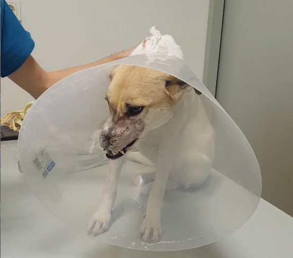 Собаке с отрезанным носом сделали пластическую операцию.видео