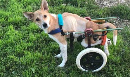Живодер осужден, а собака на всю жизнь осталась инвалидом