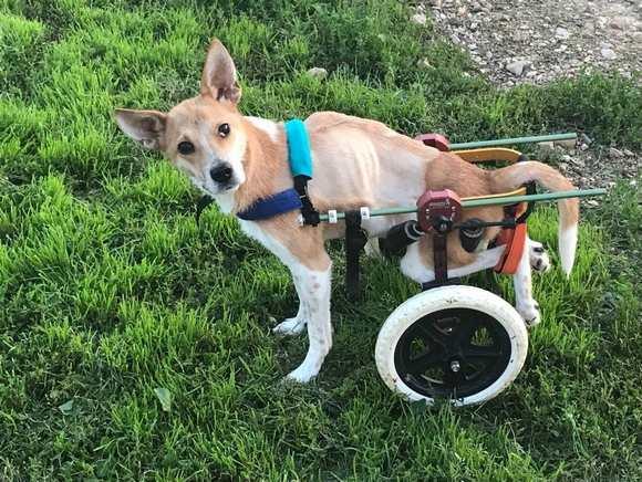 Живодер осужден, а собака на всю жизнь осталась инвалидом.